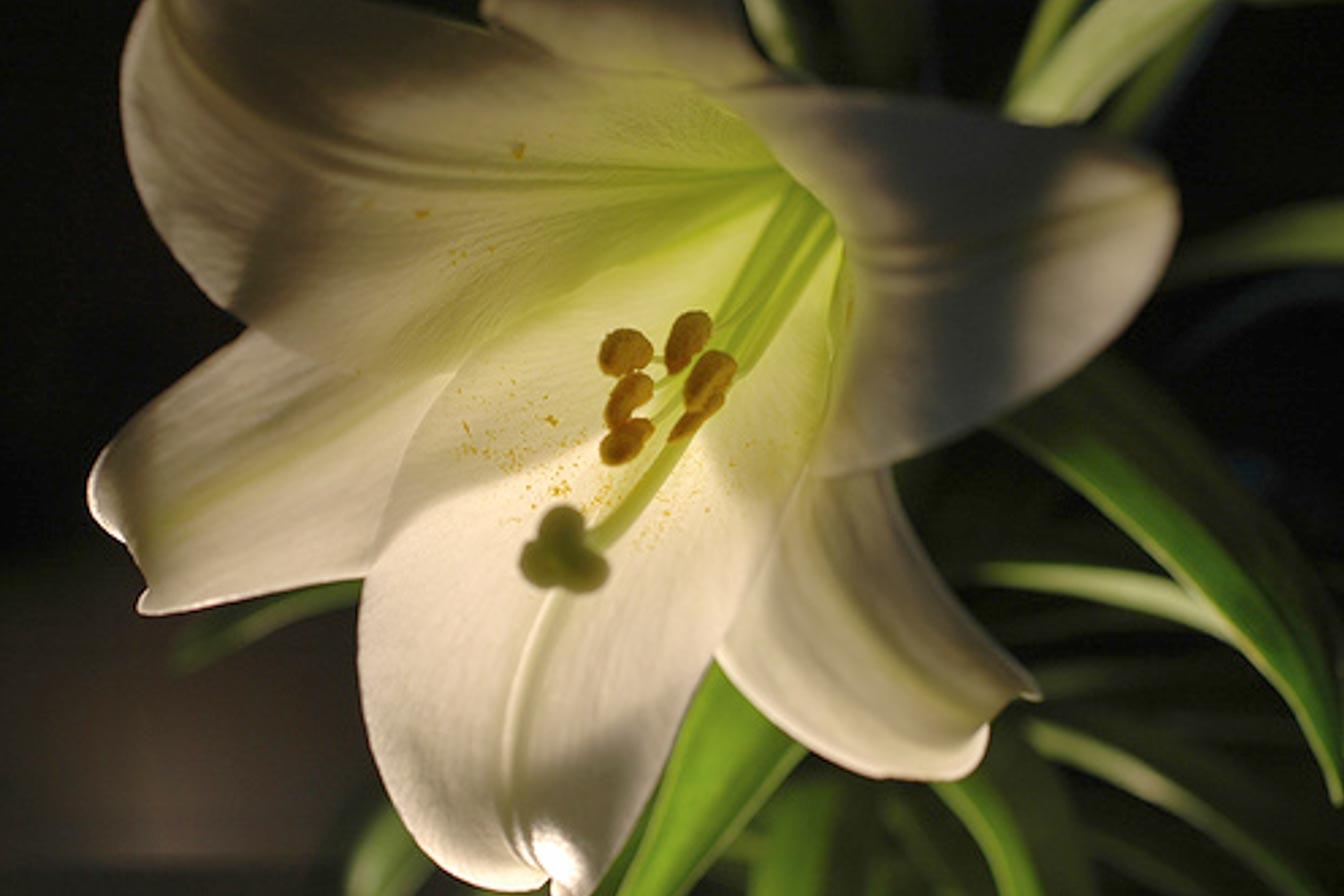 lenten lilies 2019
